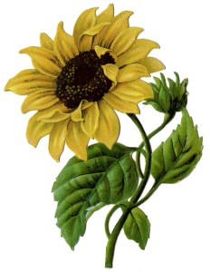 sunflower-Vint